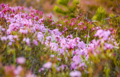 Pink wildflowers on grassy hillside