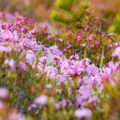 Pink wildflowers on grassy hillside
