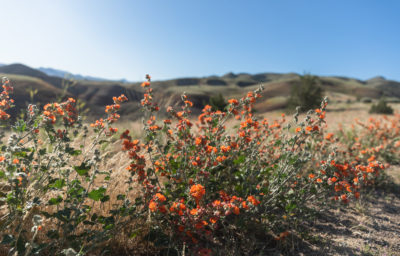 Wildflowers landscape with rolling hills in background